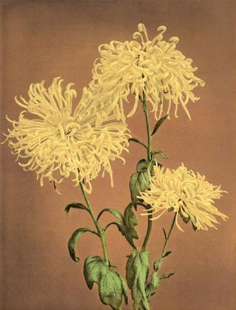 Yellow Chrysanthemums, Vintage Japanese Photography