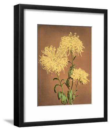 Yellow Chrysanthemums, Vintage Japanese Photography