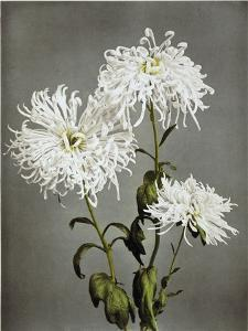 Chrysanthemum, 19th Century by Ogawa Kazuma