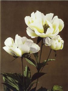 Herbaceous Peony, 19th Century by Ogawa Kazuma