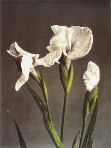 Iris Kaempferi, 19th Century by Ogawa Kazuma