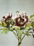 Tree Peony, 19th Century-Ogawa Kazuma-Giclee Print