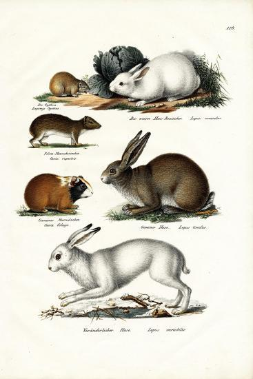 Ogotona Hare, 1824-Karl Joseph Brodtmann-Giclee Print