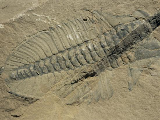 Ogygiopsis Klotzi, Fossil, Trilobite 50Mm Long with Small Fault Through It, Burgess Shale-Tony Waltham-Photographic Print