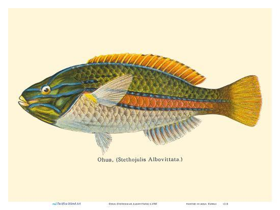 Ohua (Stethojulis Albovittata) - Blue-Lined Wrasse Fish - from Fishes of Hawaii-Pacifica Island Art-Art Print