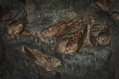 Oilbird (Steatornis Caripensis) Adults in Nesting - Roosting Cave Asa Wright Field Centre, Trinidad-Melvin Grey-Photographic Print