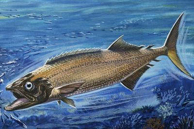 Oilfish (Ruvettus Pretiosus), Gempylidae--Giclee Print