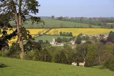 Oilseed Rape Fields and Sheep Above Cotswold Village, Guiting Power, Cotswolds-Stuart Black-Photographic Print