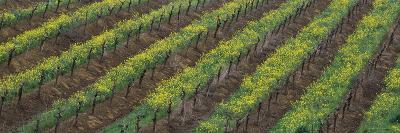 Oilseed rape with grape vines in a vineyard--Photographic Print