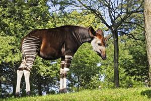 Okapi Male