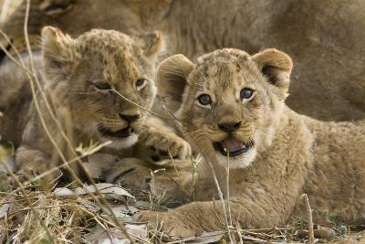 Okavango Delta, Botswana. A Close-up of Two Lion Cubs-Janet Muir-Photographic Print