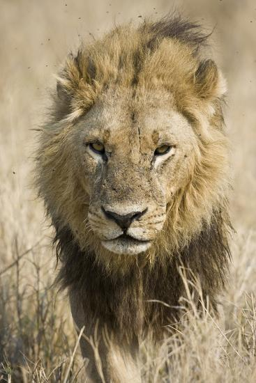 Okavango Delta, Botswana. Close-up of a Male Lion Approaching Head On-Janet Muir-Photographic Print