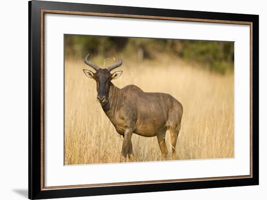 Okavango Delta, Botswana. Close-up of Common Tsessebe-Janet Muir-Framed Photographic Print