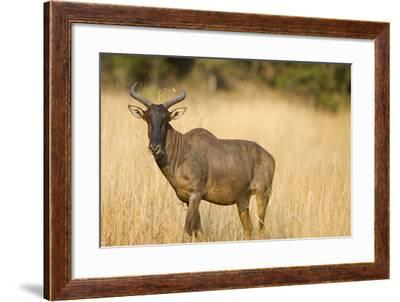 Okavango Delta, Botswana. Close-up of Common Tsessebe-Janet Muir-Framed Photographic Print