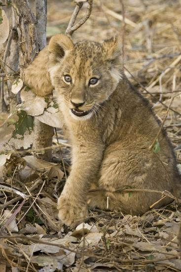 Okavango Delta, Botswana. Close-up of Lion Cub with Paw Stuck in Twigs-Janet Muir-Photographic Print