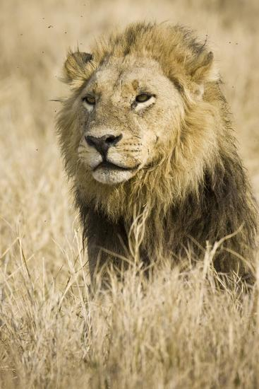 Okavango Delta, Botswana. Close-up of Male Lion-Janet Muir-Photographic Print