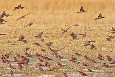 Okavango Delta, Shinde Camp, Botswana, Africa. Little Bee-Eaters-Janet Muir-Photographic Print