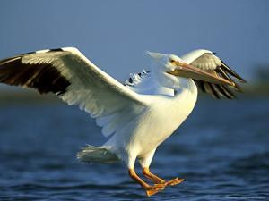 American White Pelican, Texas, USA by Olaf Broders