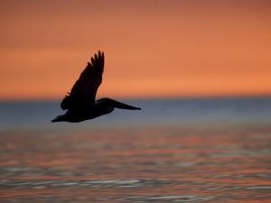 Brown Pelican, Flying, USA by Olaf Broders