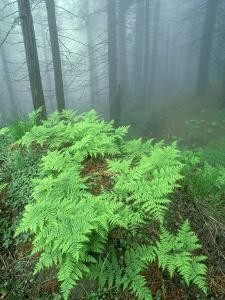 Ferns, Sequoia National Park, California, USA by Olaf Broders