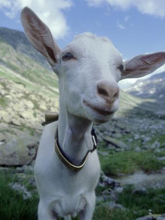 Goat, Inquisitive, Switzerland by Olaf Broders