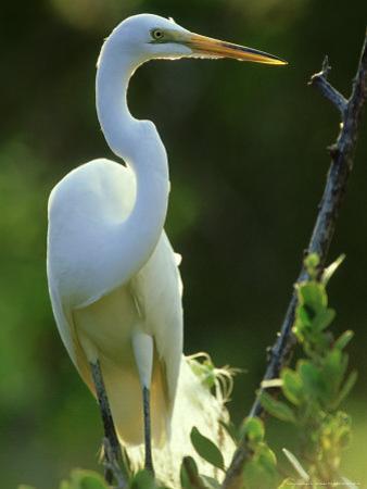 Great Egret, Florida, USA
