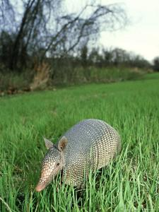 Nine-Banded Armadillo, Texas, USA by Olaf Broders