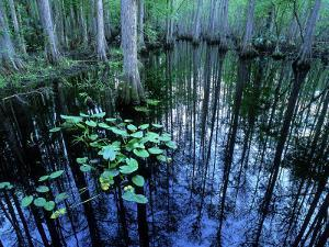 Water-Lilies in Bald Cypress Swamp, USA by Olaf Broders