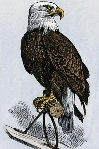 Old Abe, the Bald Eagle Mascot of Wisconsin's Iron Brigade, US Civil War