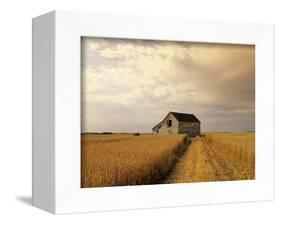 Old Barn in Maturing Spring Wheat Field, Tiger Hills, Manitoba, Canada.-Dave Reede-Framed Premier Image Canvas