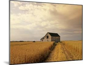 Old Barn in Maturing Spring Wheat Field, Tiger Hills, Manitoba, Canada.-Dave Reede-Mounted Photographic Print