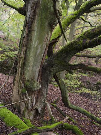 https://imgc.artprintimages.com/img/print/old-beech-kellerwald-edersee-national-park-paradies-kellerwald-hessia-germany_u-l-q1exztt0.jpg?p=0
