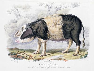 Old English Breed of Pig, 1842--Giclee Print