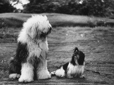 Old English Sheep Dog with Little Shih Tzu Dog-Yale Joel-Photographic Print