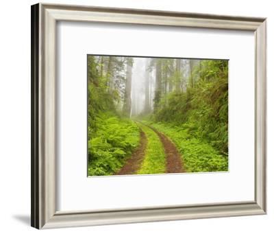 Old forest road running through towering redwood trees-William Manning-Framed Photographic Print