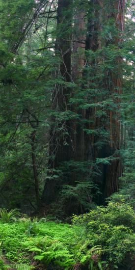 Old Growth Coast Redwood, Muir Woods National Monument, San Francisco Bay Area-Anna Miller-Photographic Print