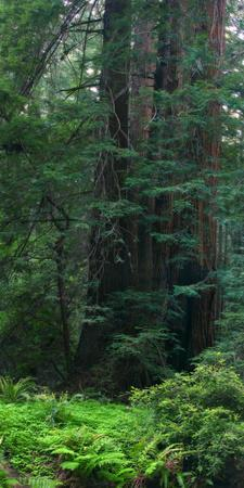 https://imgc.artprintimages.com/img/print/old-growth-coast-redwood-muir-woods-national-monument-san-francisco-bay-area_u-l-q10vhgo0.jpg?p=0