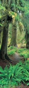 Old Growth Forest at Washington's Olympic National Forest