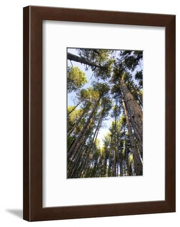 Old growth forest, Itasca State Park, Minnesota-Gayle Harper-Framed Photographic Print