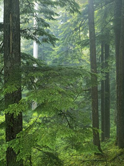 Old growth forest, Mt. Rainier National Park, Washington, USA-Charles Gurche-Photographic Print