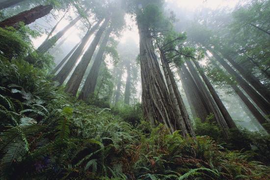 Old Growth Redwood Trees-DLILLC-Photographic Print