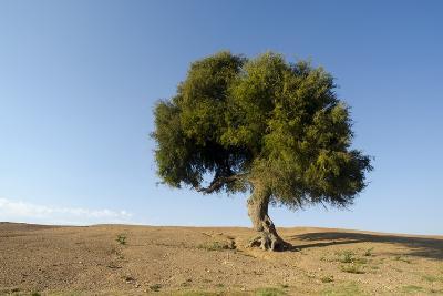 Old Khejri Tree in Desert, Bap (Aka. Baap), Rajasthan, India--Photographic Print