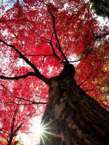 Old Maple Tree in Autumn