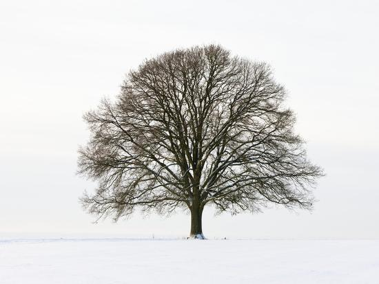 Old oak tree on a field in snow-Frank Lukasseck-Photographic Print