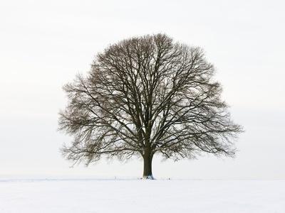 https://imgc.artprintimages.com/img/print/old-oak-tree-on-a-field-in-snow_u-l-pzlhmn0.jpg?p=0