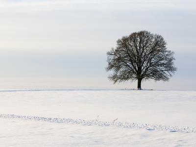 Old oak tree on a field in winter-Frank Lukasseck-Photographic Print