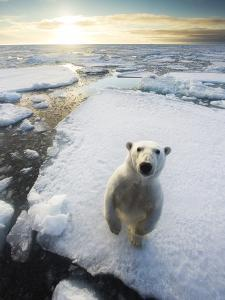 Polar Bear (Ursus Maritimus) Standing on Ice Floe, Looking at Camera. Svalbard, Norway. August by Ole Jorgen Liodden