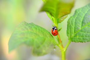 Ladybug Crawling Up the Plant by Oleksandr Zheltobriukh