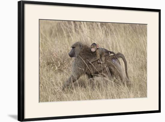 Olive Baboon (Papio Cynocephalus Anubis) Infant Riding-James Hager-Framed Photographic Print