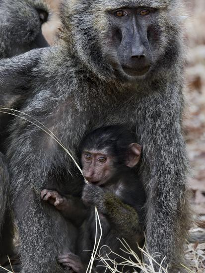 Olive Baboon (PapioAnubis) Female Grooming Mother with Infant, Gombe Stream Chimp Reserve, Tanzania-Suzi Eszterhas/Minden Pictures-Photographic Print